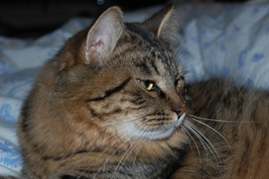Siberian Meow Cattery, hypoallergenic cats: Jyntico Alex of Siberian Meow