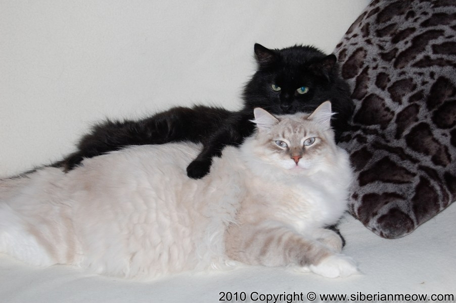 Siberian Meow Cattery, Hypoallergenic cats: Bars and Antony