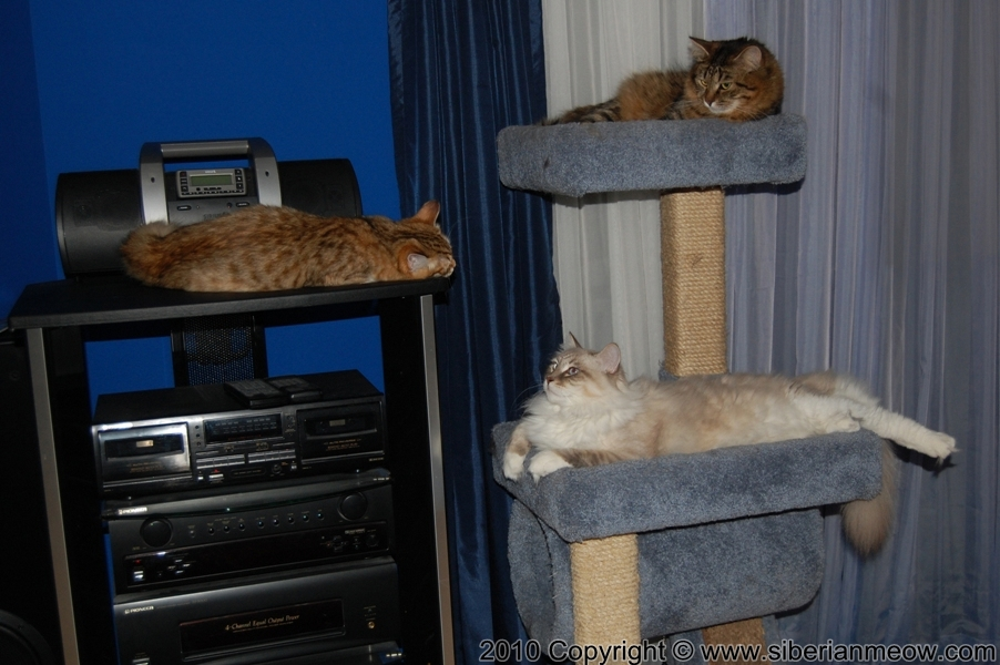 Siberian Meow Cattery, Hypoallergenic cats: Yurata, Antony and Alex