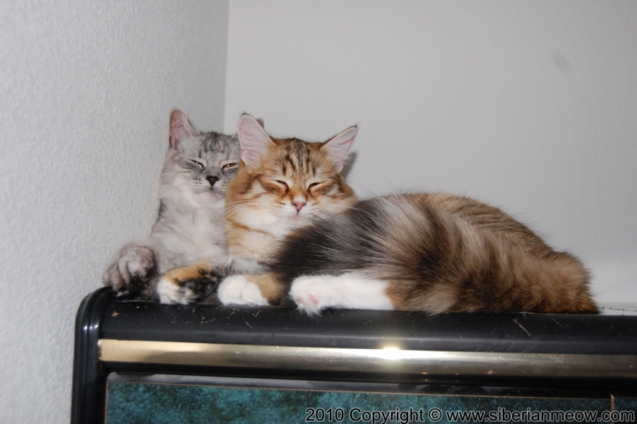 Siberian Meow Cattery, Hypoallergenic cats: Eropheya and Yurata