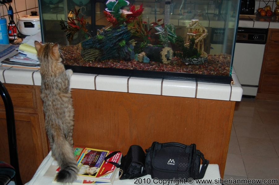 Siberian Meow Cattery, Hypoallergenic cats: Yurata and Aquarium