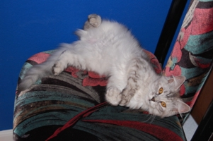 Siberian Meow Cattery, hypoallergenic cats: Eropheya on the Chair