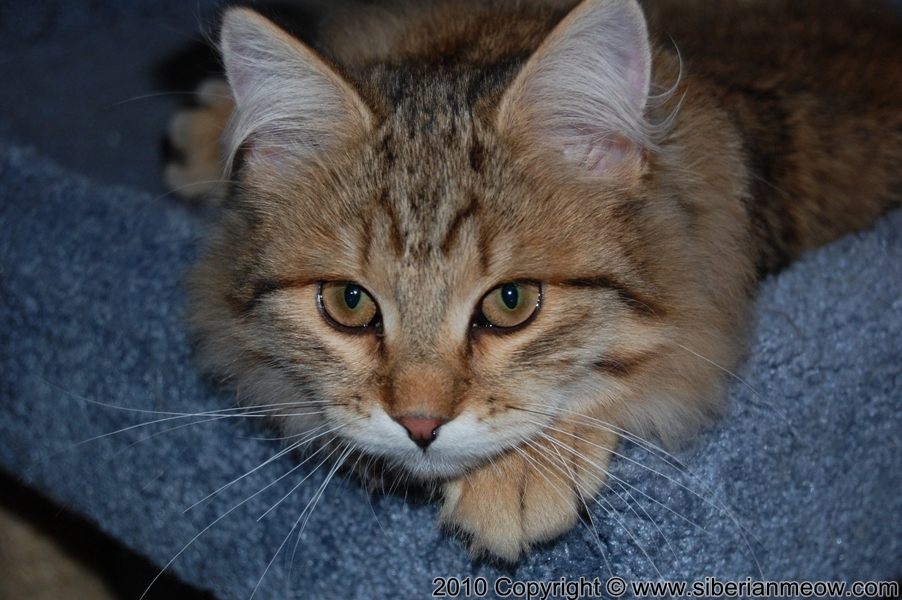 Favorite Photos of Siberian Meow Cattery