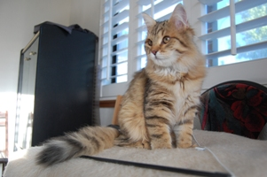 Siberian Meow Cattery, hypoallergenic cats: Ruslana Sibaris of SiberianMeow