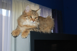 Siberian Meow Cattery, hypoallergenic cats: Ruslana on TV