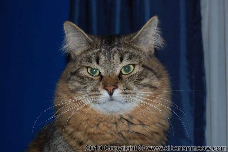SiberianMeow Cattery: Tripple Grand Champion Jyntico Alex of Siberian Meow
